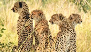 Four cheetahs in the bush of Africa