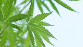 Close up of marijuana leaves