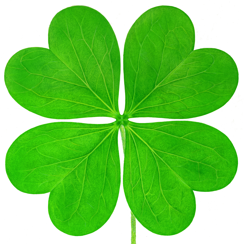 Four leaf clover against white background